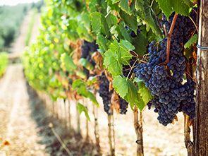 Weingärten und Weinkeller